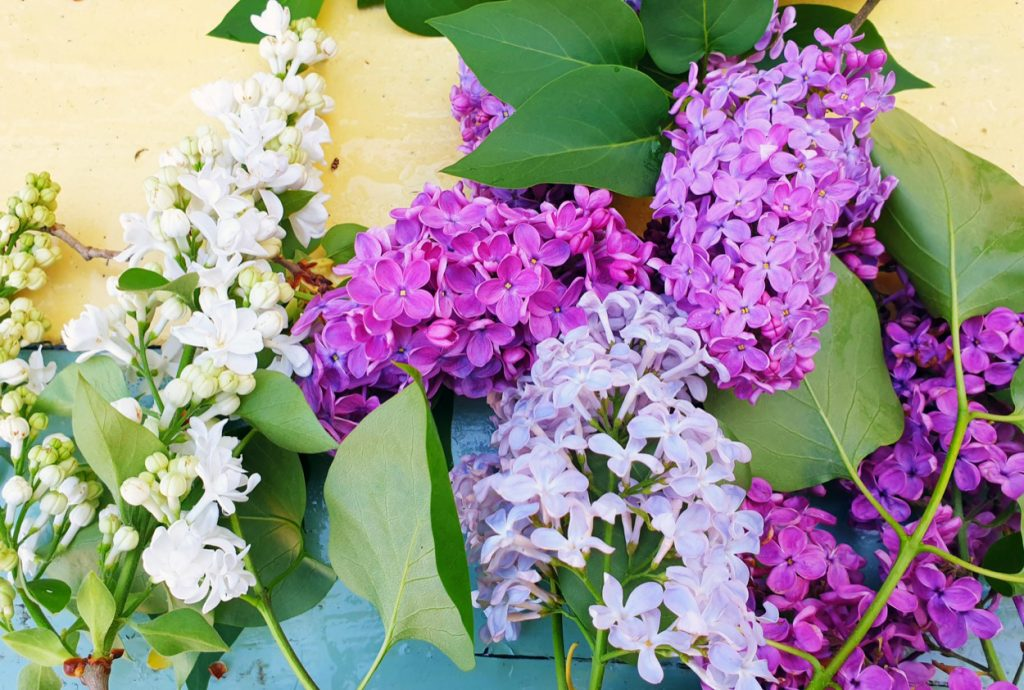 Various Lilac Flowers